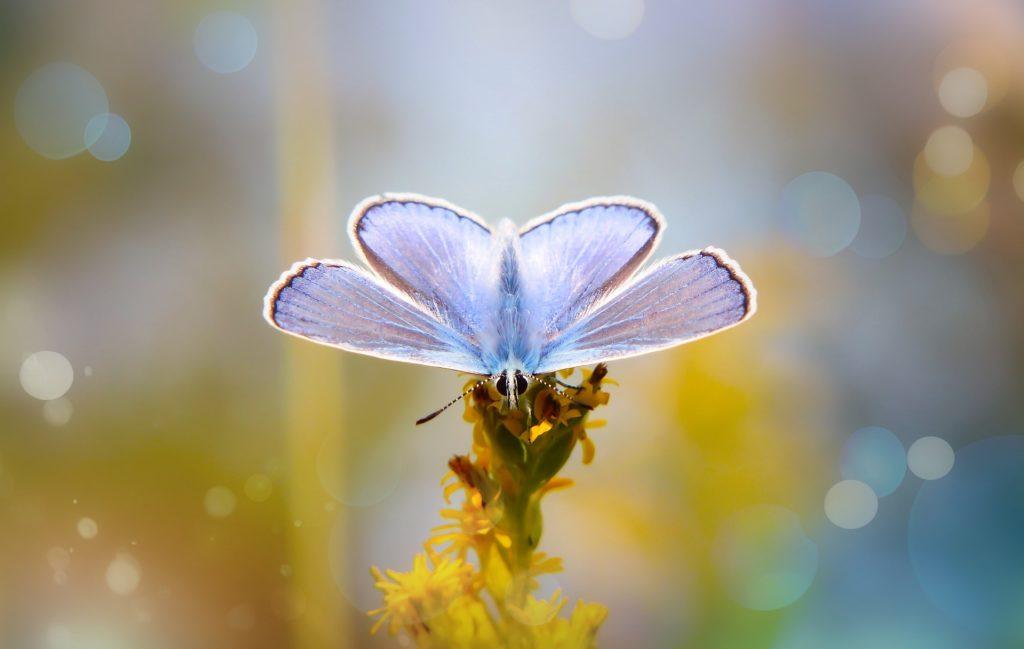 polyommatus-icarus-  - paxabay.com gratis.jpg